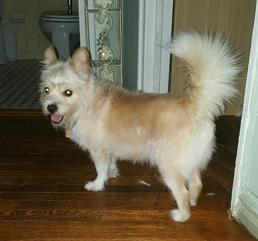 toby white terrier